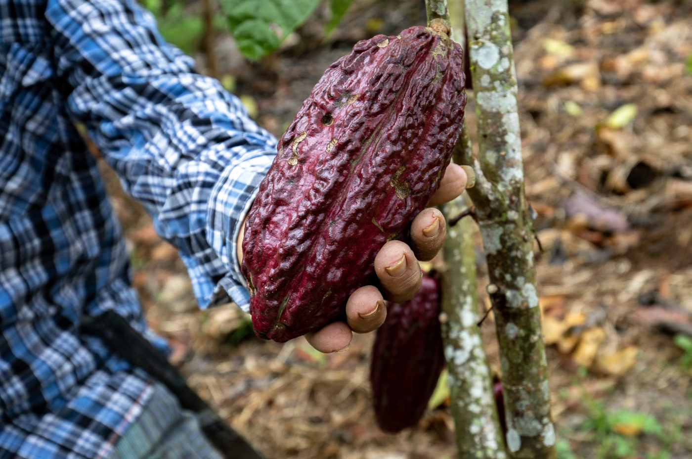 Plant Your Future farmers grow Cocoa in between the timber trees.